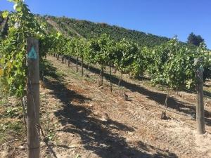 29sept2016_1b_parma-ridge_grape-vines