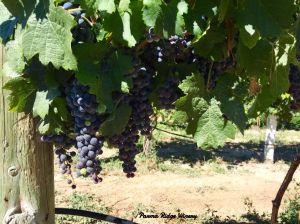 sept-2016-grapes