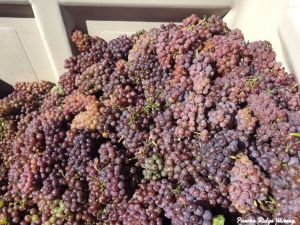 06oct2016_1_parma-ridge_gewurztraminer-grapes